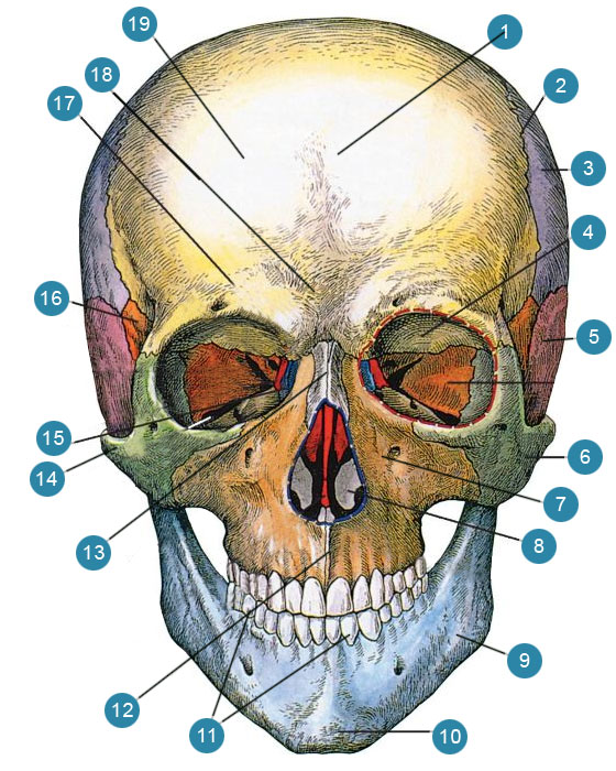 картинка черепа с костями строение кажутся